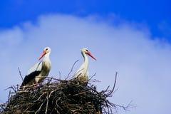 Witte ooievaars met rode bek en zwarte vleugels die in zijn nest zitten Stock Foto
