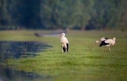 Witte ooievaars naast meer royalty-vrije stock foto's
