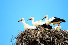 Witte ooievaars in nest Royalty-vrije Stock Foto