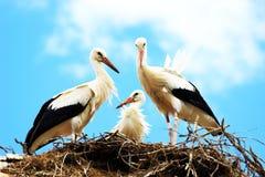 Witte ooievaars in nest Royalty-vrije Stock Fotografie