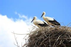 Witte ooievaars in nest Stock Afbeeldingen