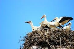 Witte ooievaars in nest Stock Foto