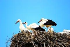 Witte ooievaars in nest Stock Foto's