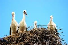 Witte ooievaars in nest Royalty-vrije Stock Afbeelding