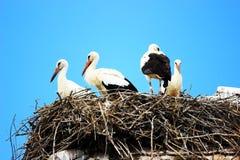 Witte ooievaars in nest Stock Afbeelding