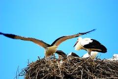 Witte ooievaars in nest Royalty-vrije Stock Afbeeldingen