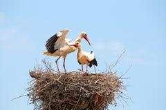 Witte ooievaars op het nest Stock Afbeelding