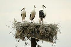 Witte ooievaars op het nest Stock Afbeeldingen