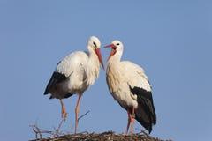 Witte ooievaars op nest Stock Afbeeldingen
