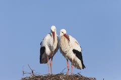 Witte ooievaars op nest Stock Foto