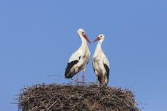 Witte ooievaars op nest Royalty-vrije Stock Fotografie
