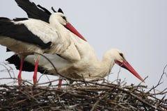 Witte Ooievaarsvogels op een nest tijdens de de lente het nestelen periode royalty-vrije stock foto's
