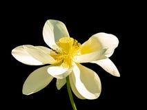 Witte open lotusbloembloem met gele stamper Royalty-vrije Stock Fotografie