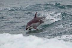 Witte opgeruimde dolfijn in Brits Colombia Stock Afbeeldingen