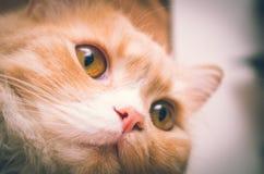 Witte oranje pussycat hoofdclose-up met open ogen stock fotografie