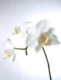 Witte orchiddream royalty-vrije stock foto