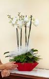 Witte orchideeën. Stock Foto