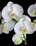 Witte orchideeën Stock Fotografie