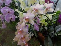 Witte orchideeën Royalty-vrije Stock Afbeelding