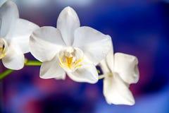 Witte orchideeën Royalty-vrije Stock Foto