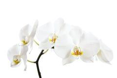 Witte orchideeën stock afbeelding