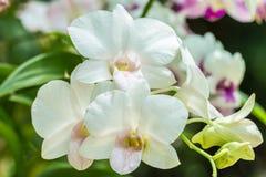 Witte orchideeën, Dendrobium Royalty-vrije Stock Foto