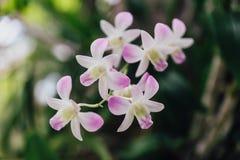 Witte Orchideeën met Groene Bladerenachtergrond Royalty-vrije Stock Fotografie