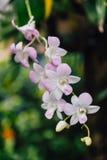 Witte Orchideeën met Groene Bladerenachtergrond Royalty-vrije Stock Afbeelding