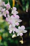 Witte Orchideeën met Groene Bladerenachtergrond Royalty-vrije Stock Foto's