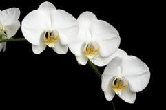 Witte Orchideeën op Zwarte Stock Foto's