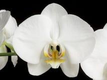 Witte Orchideeën op Zwarte Royalty-vrije Stock Afbeeldingen
