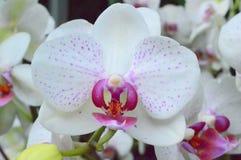 Witte Orchideeën Phalaenopsis Stock Foto