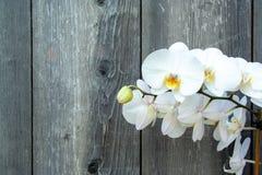 Witte orchidee stock afbeelding