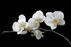 Witte orchidee Royalty-vrije Stock Fotografie