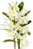 Witte orchidee. stock fotografie