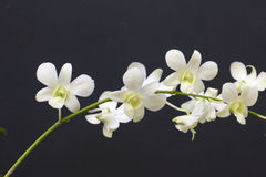Witte orchidee Royalty-vrije Stock Foto