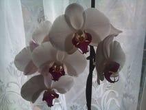 Witte orchidee Stock Foto