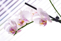 Witte orchidee stock foto