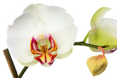 Witte orchidee. royalty-vrije stock foto's
