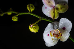 Witte orchidee Stock Foto's