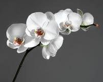 Witte orchidee Royalty-vrije Stock Foto