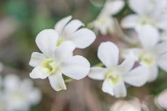 Witte orchidee in de tuin Stock Fotografie