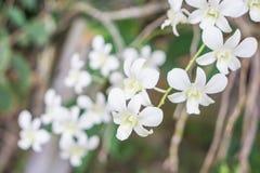 Witte orchidee in de tuin Stock Afbeelding