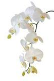 Witte orchidee die op wit wordt geïsoleerds Stock Afbeelding