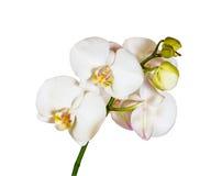 Witte orchidee die op wit wordt geïsoleerdw stock foto's