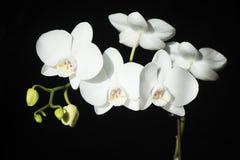 Witte orchidee die op zwarte achtergrond wordt geïsoleerd stock afbeeldingen