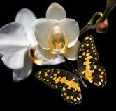 Witte orchidee en vlinder Stock Afbeelding