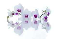 Witte orchidee met bezinning Stock Afbeeldingen