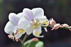 Witte orchidee met lilac stroken in de zon Stock Foto