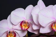 Witte orchidee met roze aders Geïsoleerde op zwarte achtergrond Royalty-vrije Stock Afbeeldingen